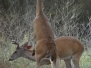 Doe-Buck-Altercation-July-b