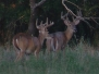 Early August Bucks