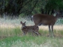First Fawn Pics