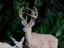 Razor Ranch Whitetail Bucks and Exotics