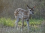 Scouting-July-Fawns-1