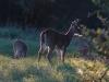 08-buck-forky-fawn