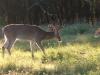 15-buck-10-pt-fawn-442