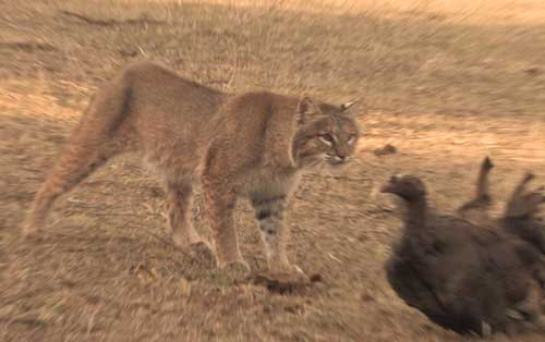The Bobcat and the Gobbler – Big Gobbler Down