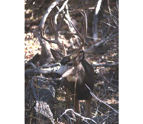 Mule Deer – They're Not That Dumb