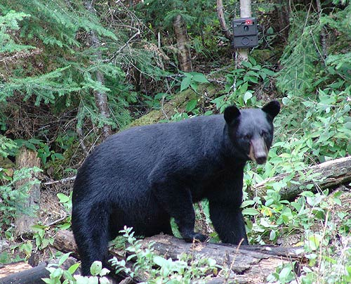 Bowhunting Bear In Ontario – 2010
