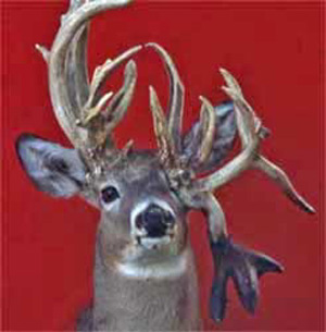 Antler Growth & Abnormalities