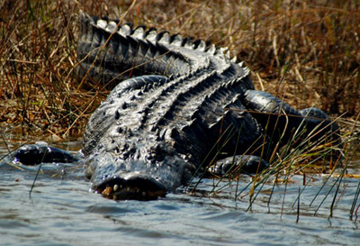 Alligator Hunt 2010