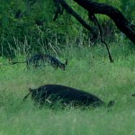 Hogs-In-Grass