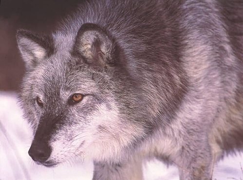 Campaign Lanches to Remove Wolves from Endangered Species List
