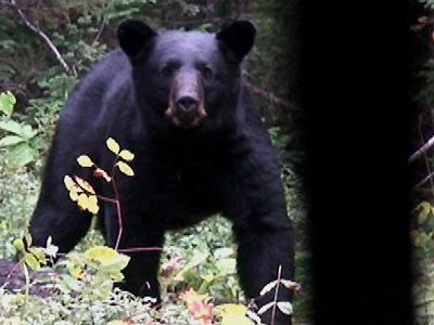 Bear Hunt – Black Bear With A Bolt