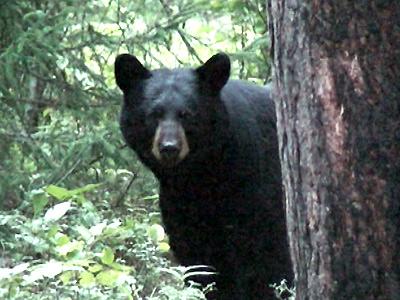 Bear Hunt: He's Back