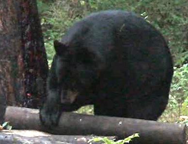 Bear Hunt: The Last Dance