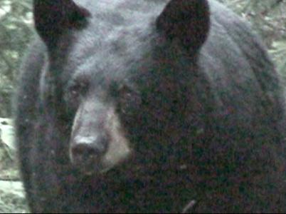 Bear Hunt: He's Back Again