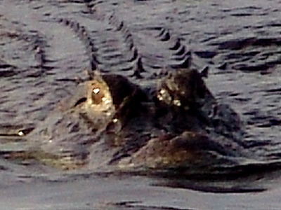 Gator Wars: The Sliding Gator