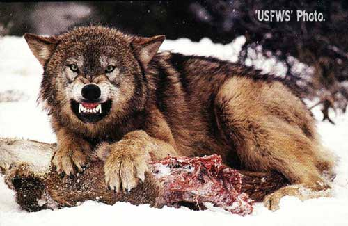 Too Many Chefs Ruined the Wolf Stew