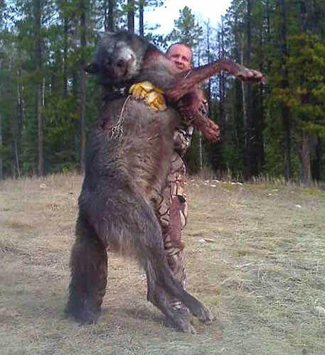 Large-wolf.jpg