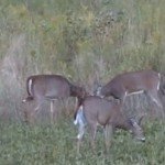 Two of the bucks fighting