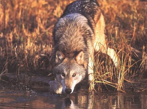 Wolf Debate Never Ends