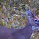 A spike buck passing through