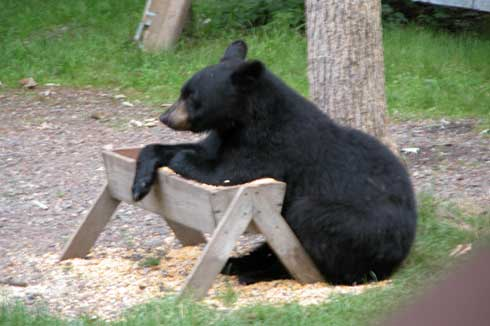 Bear Stew