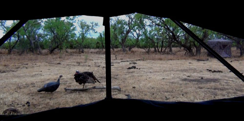 Big Johnson Outfitters wild turkey hunt