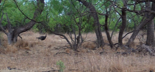 Wild Turkeys at Big Johnson Outfitters near Snyder, Texas