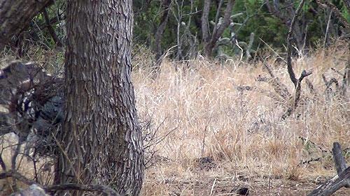 Texas Rio Grande Longbeard