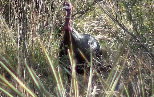 Rio Grande Longbeard Gobbler watches from the creek bank.