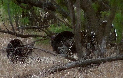 Rio Grande wild turkey gobblers