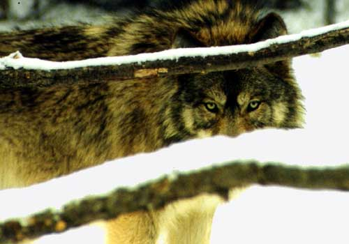 Living with Mexican Wolves and Liberal Press