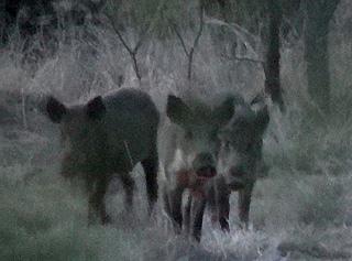 Wild Hog Bowhunt at Big Johnson