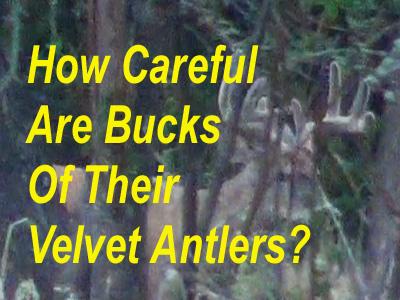 How Careful Are Bucks In Velvet