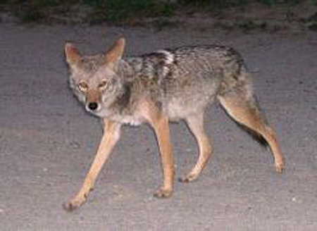 Living with Coyotes in Suburbia