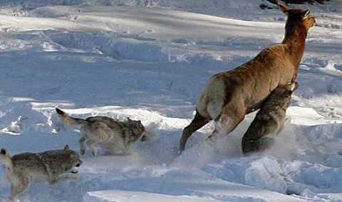 Of Wolves and Junk Science