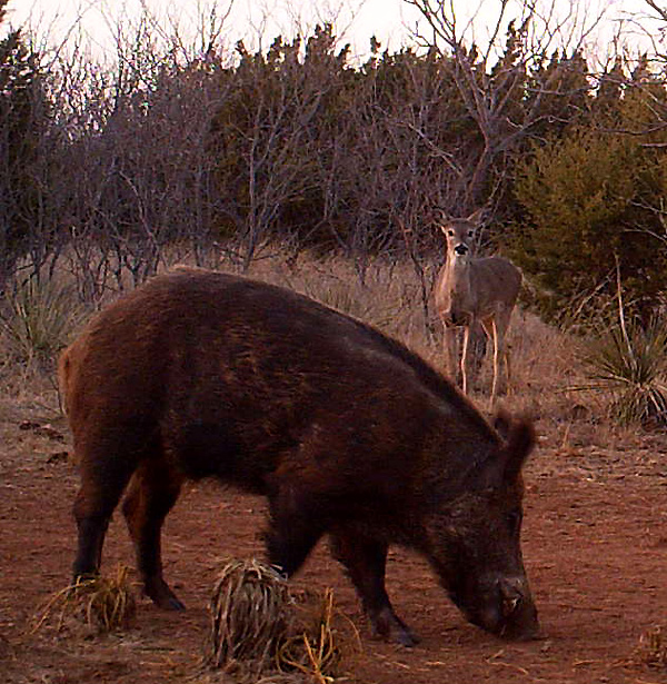 A doe watches a wild hog boar from a safe distance.