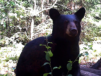 Bear Bowhunt: More Bear Pics