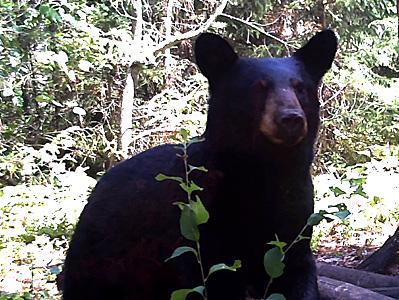 Bear Bowhunt: More Bear Pics