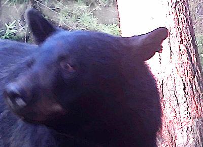 The Slant Eared Bear