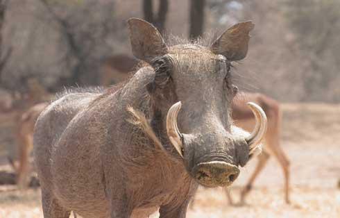 Bowhunt Africa with Kanona Safari Ranch