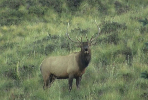 Wilderness Elk