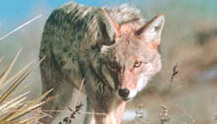 New Coyote Juice – A Coyote Calling Scent