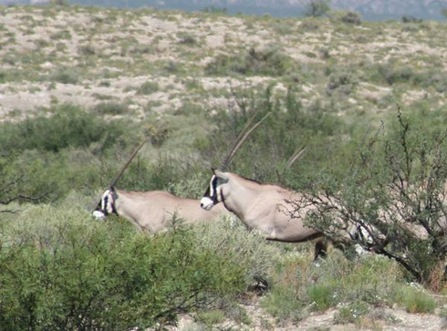 Bowhunting Gemsbok in New Mexico (pt 1)