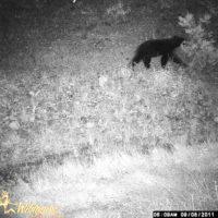 The bear the author harvested passing by the camera beyond the advertised range of the IR flash.