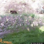 A second photo of a sow and cub ambling along with a preset interval of 15 seconds. Both bears were beyond the PIR range as well.