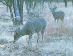 'Whitetail Fever' – in Miniature Begins
