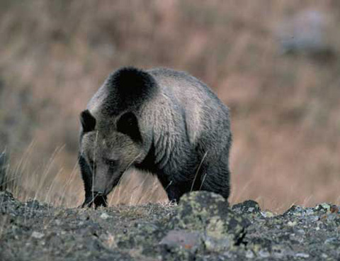 Antis Try to Stop Grizzly Bear Hunts