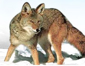 'Waggler' Brings Predators Running
