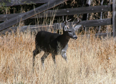 Double Vision – Two Coues Bucks in One Year