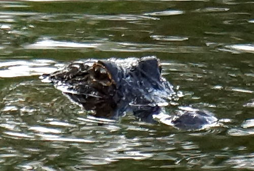 Alligator Bowhunt: Arrival Day